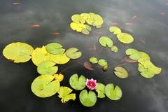 Pond com o lírio de água vermelha e os peixes do koi Imagem de Stock