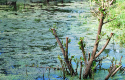 Pond covered with duckweed Royalty Free Stock Images