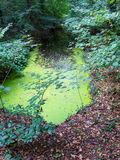 Pond covered with duckweed Stock Photo