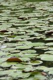 Pond covered with duckweeds Stock Image