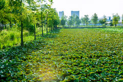 The pond covered with lotus leaf Stock Images