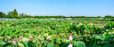 The pond covered with lotus leaf Stock Photos