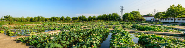 The pond covered with lotus leaf Stock Photography