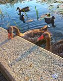 Two wild geese swimming alongside some ducks,the geese play unhindered. Pond crowd ducks geese goose stand swimming through animal bird blue feathers plumage Royalty Free Stock Photography