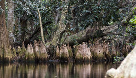 Pond Cypress Knees, Spanish Moss, Okefenokee Swamp National Wildlife Refuge Stock Images