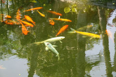 Pond with decorative fishes Royalty Free Stock Images