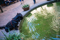 Pond dog Royalty Free Stock Image