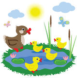 Pond with ducks. Stock Photos
