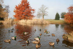 Pond and ducks Royalty Free Stock Photos