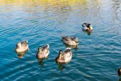 Pond with ducks in the autumn season Stock Photo