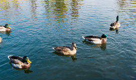 Pond with ducks in the autumn season Royalty Free Stock Photo