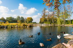 Pond with ducks in the autumn season Royalty Free Stock Photography