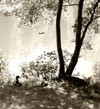 Pond with ducks and tree. Stock Photography
