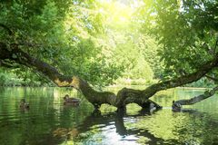 Pond with ducks and a tree branch. In the water Royalty Free Stock Image