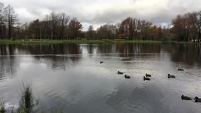 A pond with ducks and trees in a city Park in autumn. Many trees with branchy crowns with fallen leaves, ducks float by leaving a trail on the water, the stock video footage