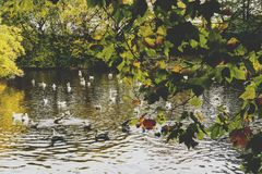 Pond with ducks and yellow leaves of tree branches, autumn at th. Pond with ducks and yellow leaves of tree branches, detail of autumn-coloured city park in Stock Images