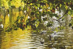 Pond with ducks and yellow leaves of tree branches, autumn at th. Pond with ducks and yellow leaves of tree branches, detail of autumn-coloured city park in Stock Photography