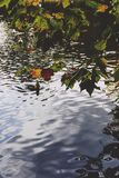 Pond with ducks and yellow leaves of tree branches, autumn at th. Pond with ducks and yellow leaves of tree branches, detail of autumn-coloured city park in Royalty Free Stock Photos