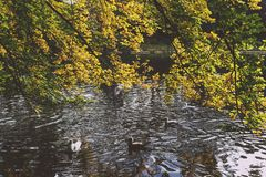 Pond with ducks and yellow leaves of tree branches, autumn at th. Pond with ducks and yellow leaves of tree branches, detail of autumn-coloured city park in Royalty Free Stock Image