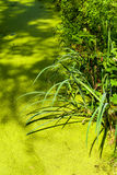 Pond with duckweed and reed. Pond with duckweed, Lemnoideae, and reed Stock Image