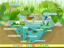 At the pond. Ecosystem of pond with inhabitants Stock Photos