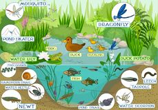 At the pond. Ecosystem of pond with inhabitants Stock Photo