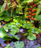 Pond with exotic tropical plants Stock Image