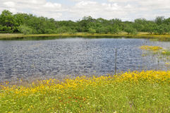 Pond in a field. Large pond in a field, with yellow flowers and mesquite trees. Taken in South Texas Royalty Free Stock Photography