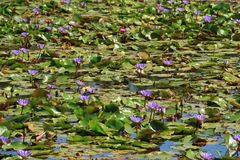 Pond Filled with Blooming Vibrant Purple and Pink Lotus Flowers, Thailand stock images