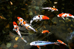 Pond fish. Colorful Koi in a sallow pond with pebble stone Stock Photos