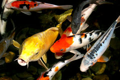 pond fish Royalty Free Stock Image