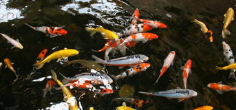 Pond fish Stock Image
