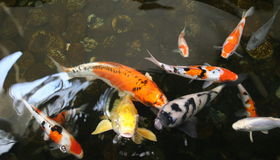 Pond fish. Colorful Koi in a sallow pond with pebble stone Stock Image