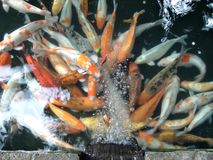 Pond fish. Coloured pond fish (blur) craving for oxygen. Focus is on the bubbles coming from the feeder canal stock photo