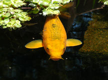 Pond Fish Royalty Free Stock Photos