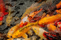 Pond of Fish Royalty Free Stock Images