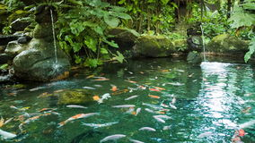 Pond with fish and waterfalls stock footage