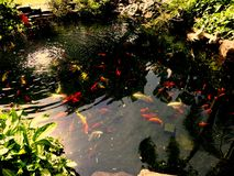 Pond with Fishes Stock Photo