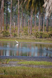Pond fishing. An Egret fishes in a pond surrounded by slash pines at Babcock Ranch near Punta Gorda Florida royalty free stock image