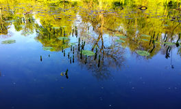 Pond with floating nymphaea leaves and trees reflection on calm Stock Images