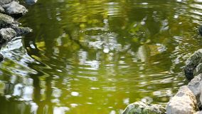 Pond with floating young koi carp fish jumping out of water and stones stock footage