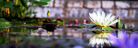 Pond Flower stock photos