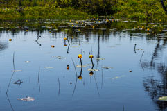 Pond flowers. This is an image of beautiful yellow flowers reflected in the water of a pond. The vibrant yellow stands out wonderfully against the water stock images