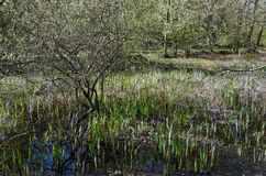 Pond in fontainebleau forest. Fairy Pond of the Forest of Fontainebleau Royalty Free Stock Photography