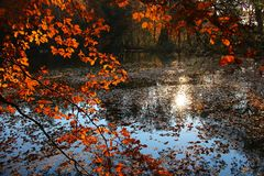 Pond in the forest, autumnal beech leaves Stock Image