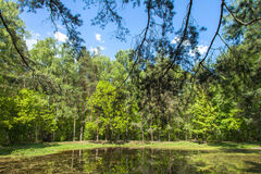 Pond in the forest, birch and pine trees Royalty Free Stock Photo