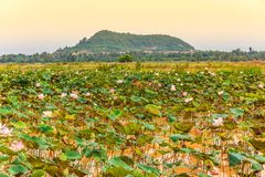 Pond with Fresh Lotus Flowers and Green Leaves Overlook a Mounta royalty free stock photo