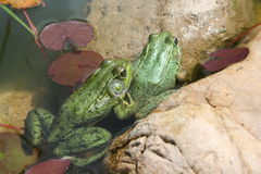Pond Frog Stock Image