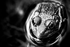 Pond frog in black and white. Pond frog resting in water Stock Images
