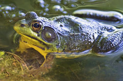 Pond Frog Up Close Stock Photo